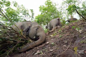 Did lightning actually kill the eighteen elephants in Assam?